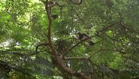 Die Kereru-Taube