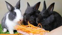 Lovely young 1 month rabbits eating carrot from lady hand