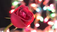 Red rose on light color sparkles background Video