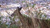 Hjortar Walking In Woods