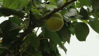 Grüner reifender Pfirsich, der im Wind schwingt