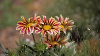 Marguerites tricolores dans un champ