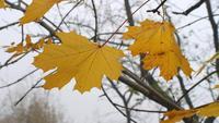 Gelbe Ahornblätter flattern im Wind