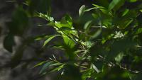 Hojas de árbol de mangle ligeramente sopladas por el viento