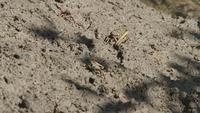 Crabs Eating Mud