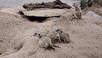 Grupp av Meerkats