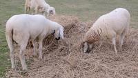 Schaf frisst Stroh