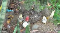 Gallina y polluelos