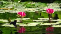 Lotus Flowers and Leaves on Water and Little Cute Duck