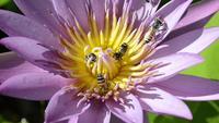 Swarm of Bees in a Lotus Flower.