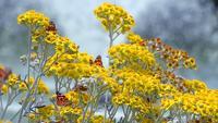 Borboleta chamada Vanesa Cardui em flores amarelas
