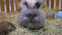 Un lapin britannique mange du foin dans une cage en bois.