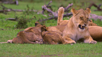Lion Cubs I Kenyan Shrubland