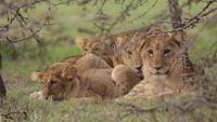 Vier leeuwenwelpen