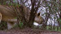 De leeuwin die rondsnuffelt