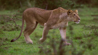 The Lioness Running