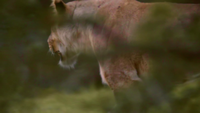 Lioness Roaming Shrubland