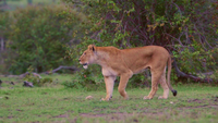 Lioness Calls for Cubs