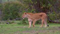 Lionne appelle des louveteaux