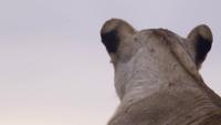 Närbild av lejoninna
