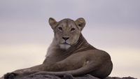 Lioness Resting On Rock