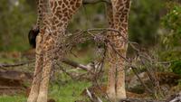 En giraff i naturen
