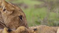 Lionceau au repos