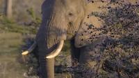 Éléphant paissant dans la garrigue africaine