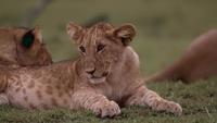 Lionceau couché