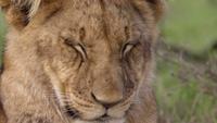 Lion Cub som sover på nära håll