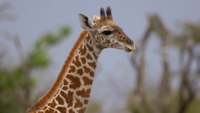Panorera med en vandrande giraff