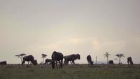 Wildebeest On African Plains