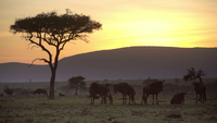 Wildebeest In Sunset