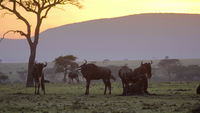 Wildebeest Eating During the Sunset