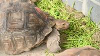 Grupp av afrikansk sparad sköldpadda som äter den nya grönsaken