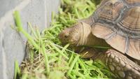 Den afrikanska sporrade sköldpaddan i zoo parkerar äta nytt gräs