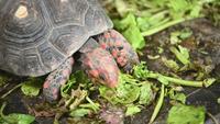 Red foot tortoise eating fresh vegetables