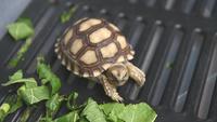 Behandla som ett barn afrikansk sköldpadda som kryper i en plastlåda