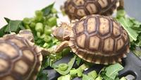 Grupp av afrikansk sköldpadda som äter grönsaker
