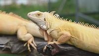 Iguanas exóticas amarillas y doradas relajantes en madera
