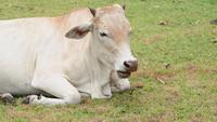 White cow relaxing on a meadow field
