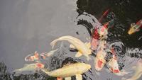 Étang à poissons de Koi