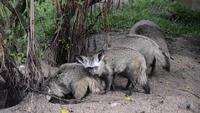 Grupp av Bat-Eared Foxes