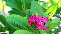 Plumeria magenta flowers and green leaves