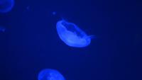 Méduse nageant sous l'eau