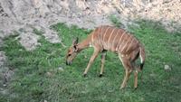 Kvinnlig Nyala antilop