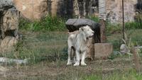 Lion de taro blanc