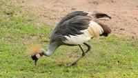 Grey Crowned crane eating