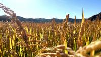 Campo de trigo, primer plano