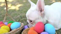 French bulldog eat Easter egg